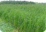 Продаем Семена сенокосных трав недорого