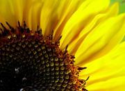 Насіння соняшника Перформер