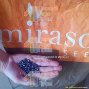 Семена подсолнечника для засушливых регионов - Mirasol seed
