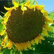 семена подсолнечника HC Таурус
